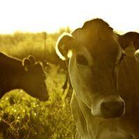 Chipotle Reaches Pasture-Raised Dairy Milestone